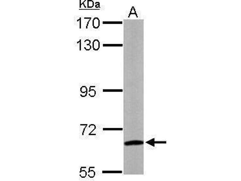 Western Blotting (WB) image for anti-WD Repeat Domain 1 (WDR1) (C-Term) antibody (ABIN2855326)