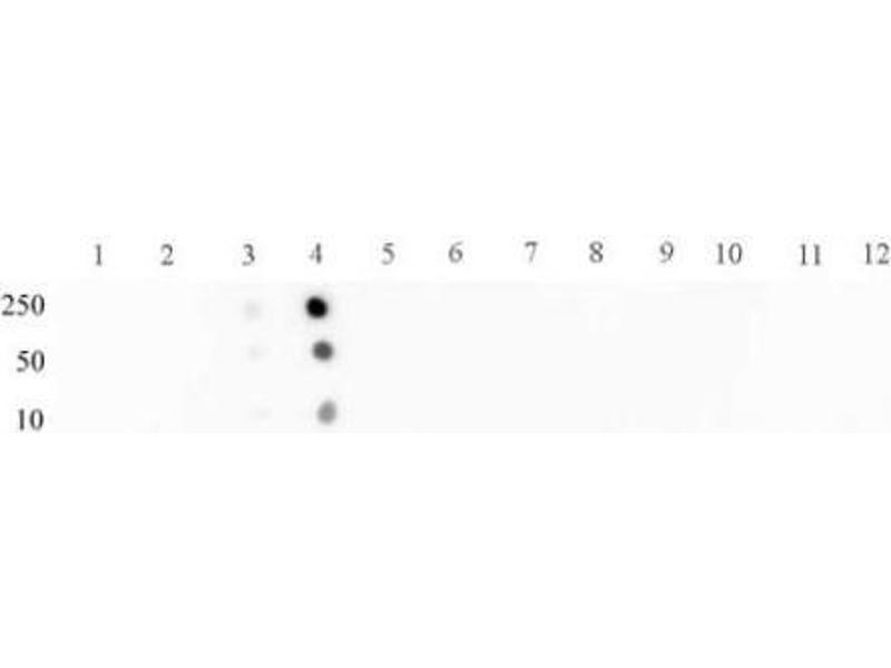 Dot Blot (DB) image for anti-STAT2 antibody (Signal Transducer and Activator of Transcription 2, 113kDa) (pTyr689) (ABIN2668259)
