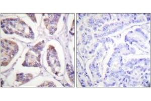 Image no. 2 for anti-Vinculin (VCL) (AA 786-835) antibody (ABIN1532662)
