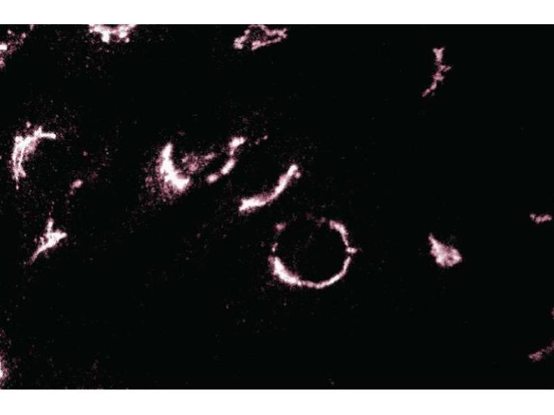 Immunofluorescence (IF) image for anti-Trans-Golgi Network Protein 2 (TGOLN2) (AA 31-244) antibody (ABIN968239)