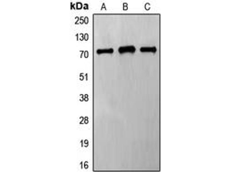Western Blotting (WB) image for anti-Frizzled Family Receptor 8 (FZD8) (C-Term) antibody (ABIN2704804)