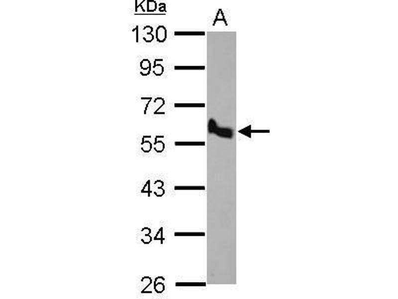 Western Blotting (WB) image for anti-Bone Morphogenetic Protein 10 (BMP10) (C-Term) antibody (ABIN2856601)