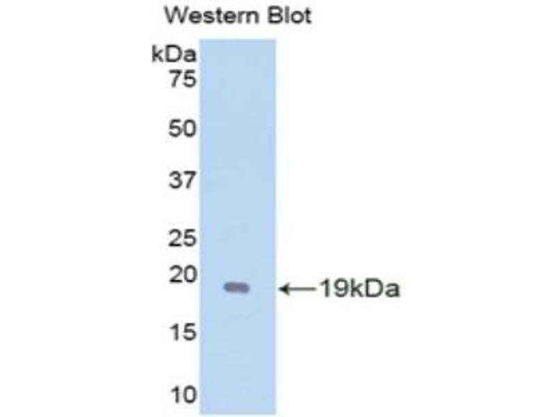 Western Blotting (WB) image for anti-Glial Cell Line Derived Neurotrophic Factor (GDNF) (AA 79-217) antibody (ABIN1172051)