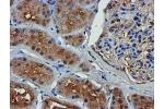 Immunohistochemistry (Paraffin-embedded Sections) (IHC (p)) image for anti-Complement Component 1, S Subcomponent (C1S) antibody (ABIN4299882)