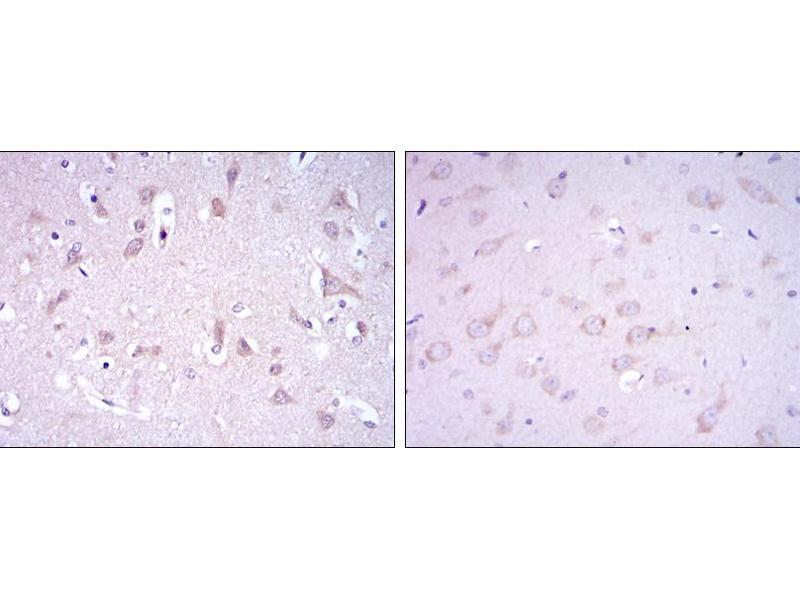Immunohistochemistry (IHC) image for anti-Glutamate Receptor 3 antibody (Glutamate Receptor, Ionotrophic, AMPA 3) (ABIN969177)