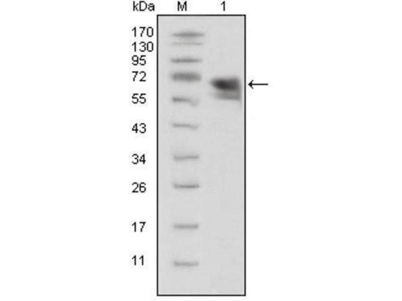 Western Blotting (WB) image for anti-TRKA 抗体 (Neurotrophic Tyrosine Kinase, Receptor, Type 1) (AA 33-423) (ABIN1846582)