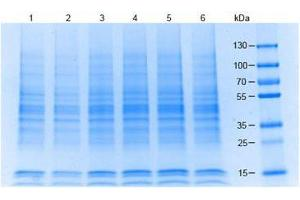 SDS-PAGE (SDS) image for Jurkat Whole Cell Lysate (ABIN964029)
