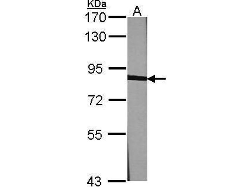 Western Blotting (WB) image for anti-Calnexin (CANX) (Internal Region) antibody (ABIN2855124)