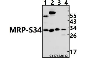 Image no. 1 for anti-Mitochondrial Ribosomal Protein S34 (MRPS34) (AA 180-226) antibody (ABIN6713169)