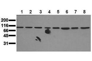 Western Blotting (WB) image for anti-MAPK7 antibody (Mitogen-Activated Protein Kinase 7) (N-Term) (ABIN126797)