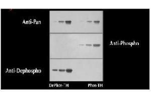 anti-tyrosine Hydroxylase (TH) (pSer40) antibody