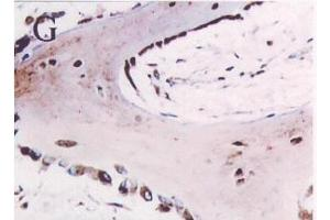 Image no. 1 for anti-Secreted Protein, Acidic, Cysteine-Rich (Osteonectin) (SPARC) antibody (ABIN109792)