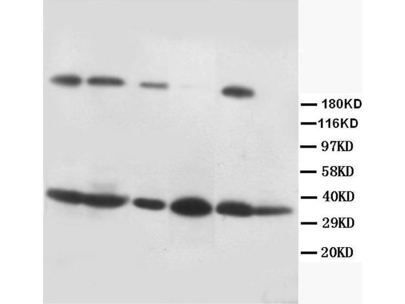 Western Blotting (WB) image for anti-FASL antibody (Fas Ligand (TNF Superfamily, Member 6)) (AA 192-218) (ABIN3044333)