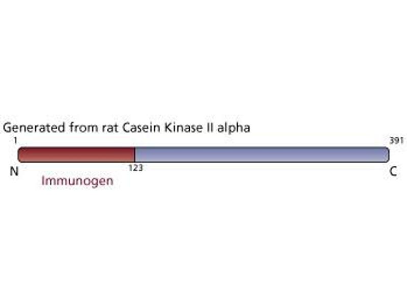 image for anti-Casein Kinase II alpha /alpha (AA 1-123) antibody (ABIN968610)