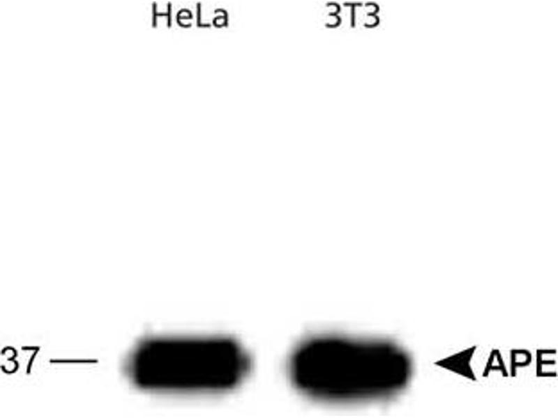 Western Blotting (WB) image for anti-APEX1 / REF-1 (2 Set) antibody (ABIN152196)