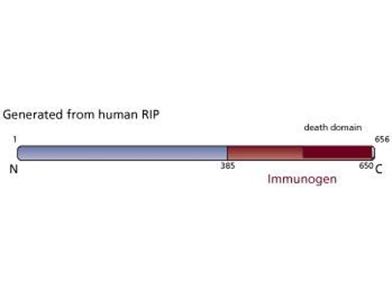 image for anti-RIPK1 antibody (Receptor (TNFRSF)-Interacting serine-threonine Kinase 1) (AA 385-650) (ABIN967985)