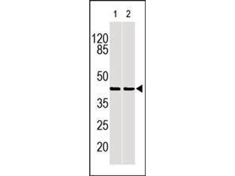 Western Blotting (WB) image for anti-Coagulation Factor II (thrombin) Receptor (F2R) (C-Term) antibody (ABIN1584987)