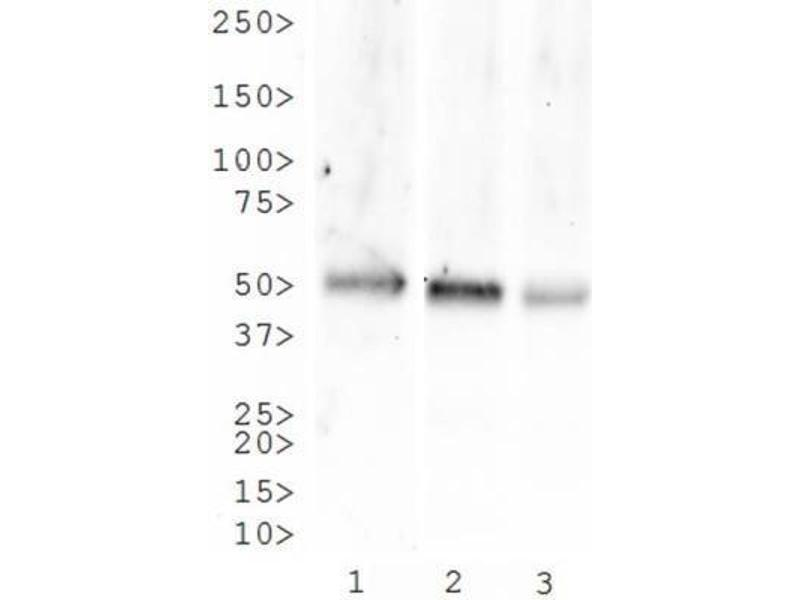 Western Blotting (WB) image for anti-Tachykinin Receptor 1 (TACR1) (N-Term) antibody (ABIN152468)