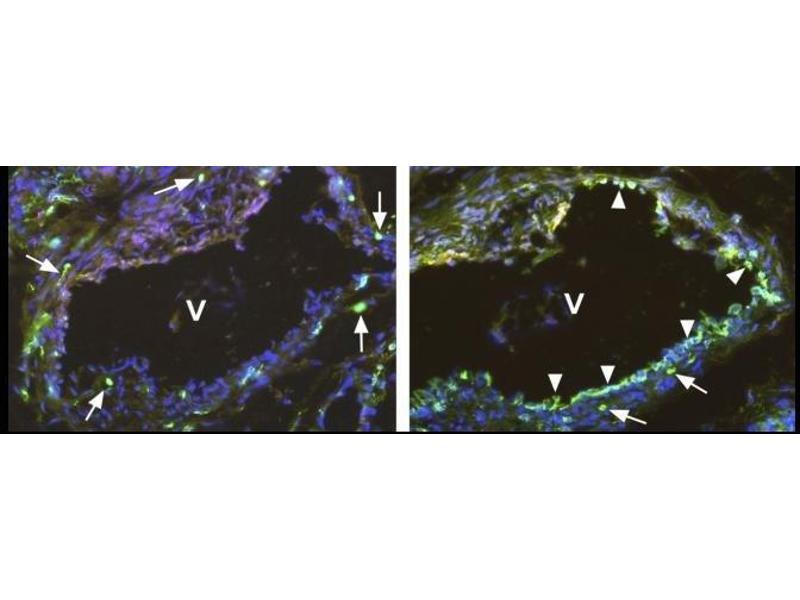 Immunofluorescence (IF) image for anti-FLT1 antibody (Fms-Related tyrosine Kinase 1 (Vascular Endothelial Growth Factor/vascular Permeability Factor Receptor)) (ABIN449639)