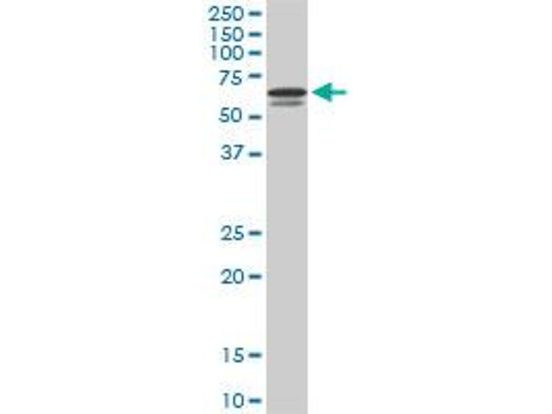 Western Blotting (WB) image for anti-Interferon Regulatory Factor 5 (IRF5) (AA 395-504), (partial) antibody (ABIN561528)