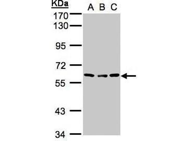 Western Blotting (WB) image for anti-Angiopoietin 4 antibody (ANGPT4) (N-Term) (ABIN2854899)