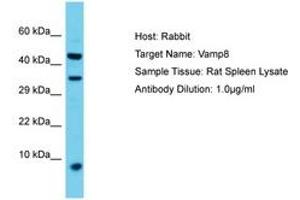 Image no. 1 for anti-Vesicle-Associated Membrane Protein 8 (Endobrevin) (VAMP8) (AA 40-89) antibody (ABIN6750424)