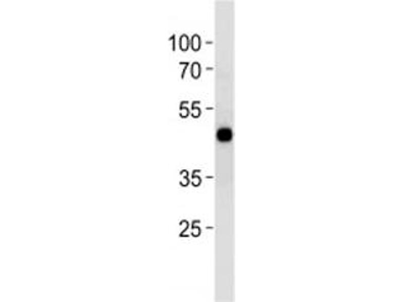 Western Blotting (WB) image for anti-cAMP Responsive Element Binding Protein 1 (CREB1) (AA 105-132) antibody (ABIN3030270)