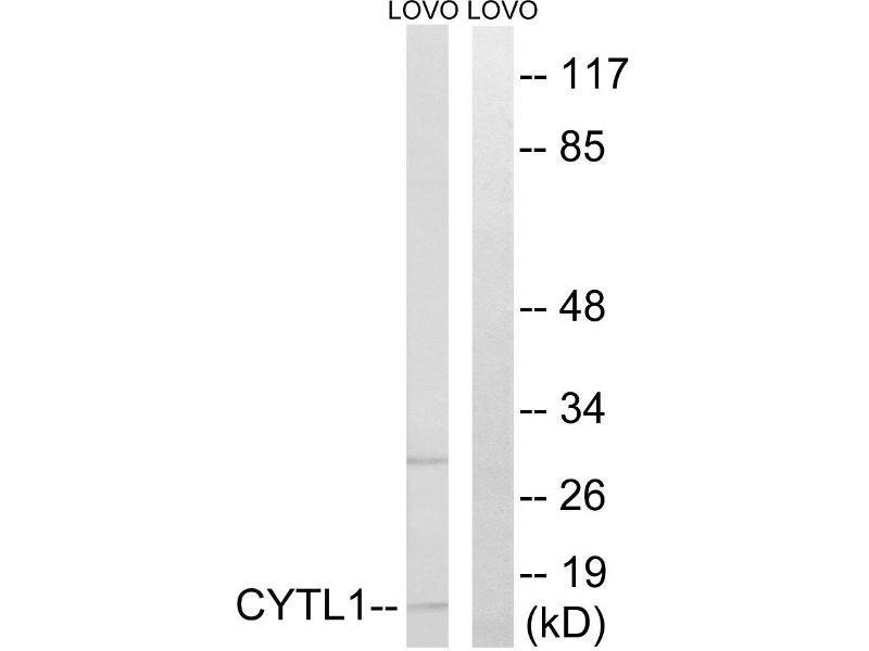 Image no. 2 for anti-Cytokine-Like 1 (CYTL1) antibody (ABIN1575951)