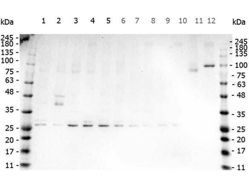 Western Blotting (WB) image for anti-Tumor Necrosis Factor (TNF) antibody (ABIN5596796)