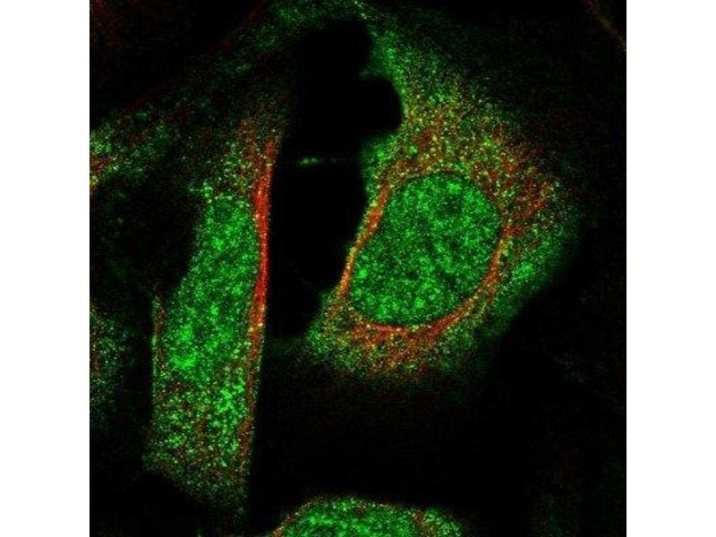 Immunofluorescence (IF) image for anti-RNA Binding Motif Protein 42 (RBM42) antibody (ABIN4349622)