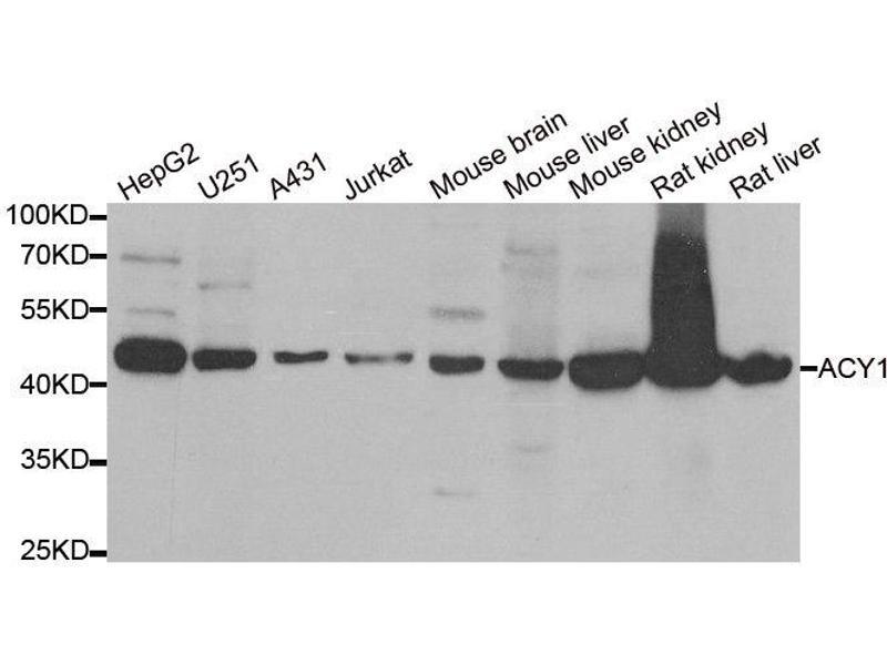 Image no. 1 for anti-Aminoacylase 1 (ACY1) antibody (ABIN2560933)