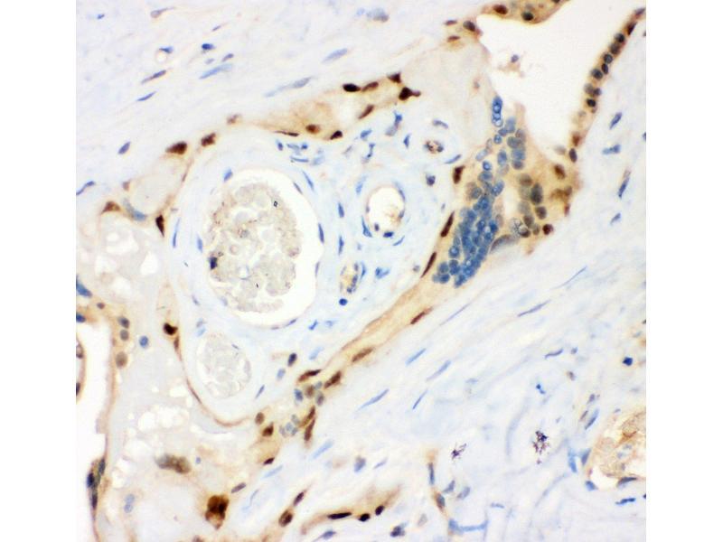 Immunohistochemistry (IHC) image for anti-Ribosomal Protein S6 Kinase, 90kDa, Polypeptide 5 (RPS6KA5) (AA 540-665) antibody (ABIN3043424)
