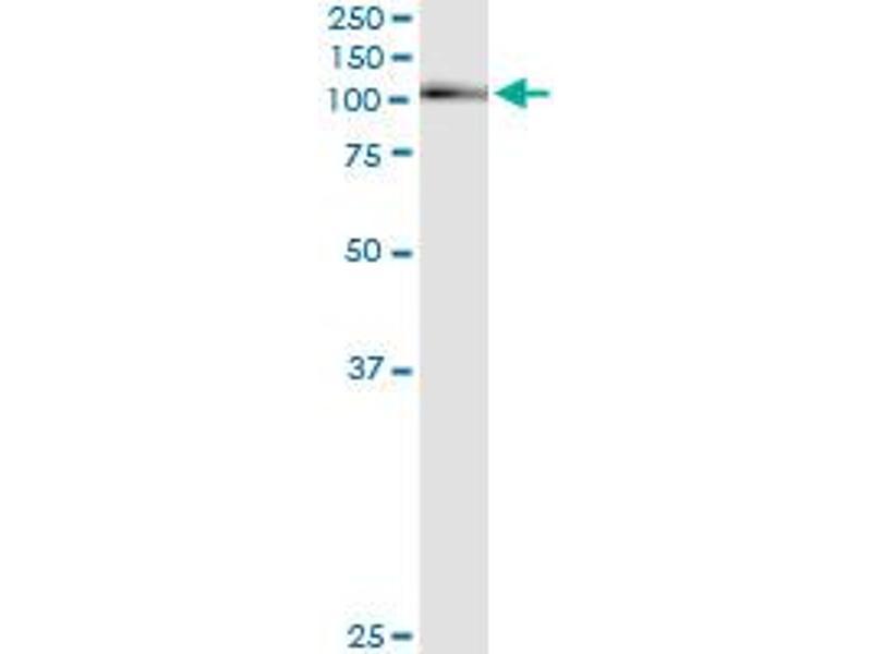 Immunoprecipitation (IP) image for anti-Aryl Hydrocarbon Receptor (AHR) (AA 721-820) antibody (ABIN513203)