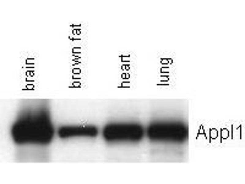 image for anti-Adaptor Protein, phosphotyrosine Interaction, PH Domain and Leucine Zipper Containing 1 (APPL1) antibody (ABIN1042584)