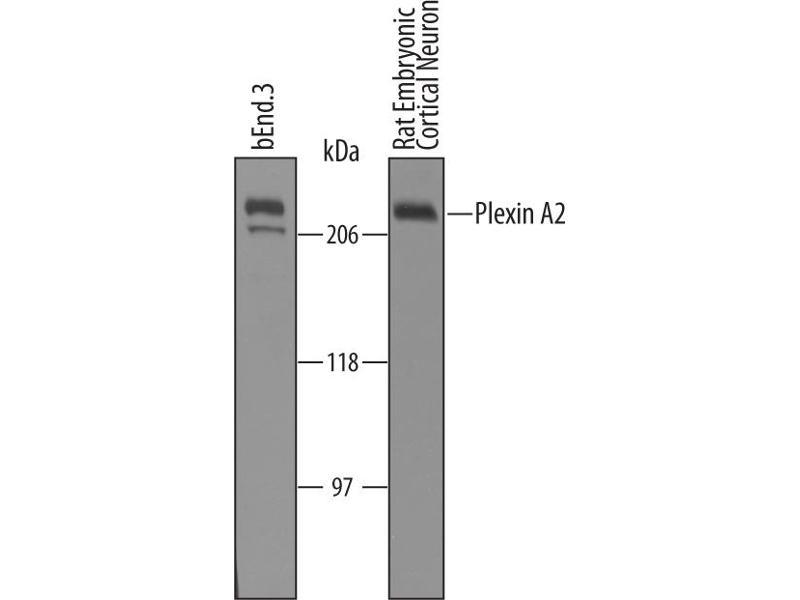 Western Blotting (WB) image for anti-Plexin A2 (Plxna2) (AA 35-1237) antibody (ABIN4900258)