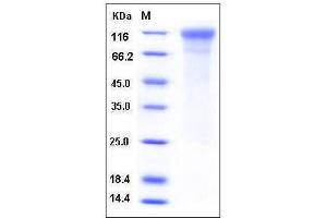 image for Intercellular Adhesion Molecule 3 (ICAM3) (AA 1-485), (Extracellular Domain) (Active) protein (His tag) (ABIN3216383)