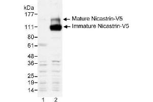 Western Blotting (WB) image for anti-V5 Epitope Tag antibody (ABIN153300)