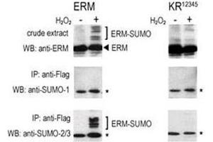 Image no. 6 for anti-SMT3 Suppressor of Mif Two 3 Homolog 1 (S. Cerevisiae) (SUMO1) (AA 55-86) antibody (ABIN3032769)