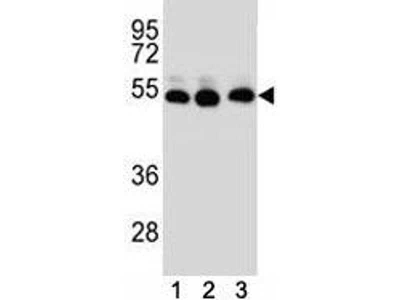 Western Blotting (WB) image for anti-TUBB2B antibody (Tubulin, beta 2B) (AA 12-39) (ABIN3029343)