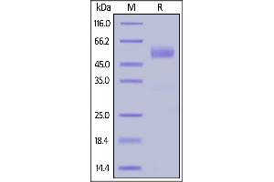 Image no. 2 for Killer Cell Lectin-Like Receptor Subfamily K, Member 1 (KLRK1) (AA 73-216) (Active) protein (Fc Tag) (ABIN6938851)