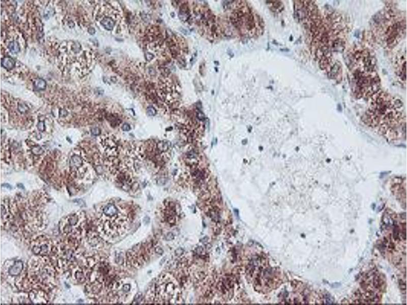 Immunohistochemistry (IHC) image for anti-F-Box Protein 21 (FBXO21) antibody (ABIN2455408)