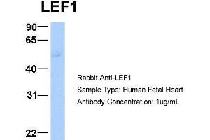 Western Blotting (WB) image for anti-LEF1 antibody (Lymphoid Enhancer-Binding Factor 1) (Middle Region) (ABIN2779621)