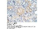 Immunohistochemistry (IHC) image for anti-FZD7 Antikörper (Frizzled Family Receptor 7) (C-Term) (ABIN2776708)