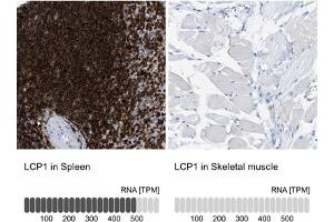 Image no. 3 for anti-Lymphocyte Cytosolic Protein 1 (LCP1) (AA 18-77) antibody (ABIN5774342)