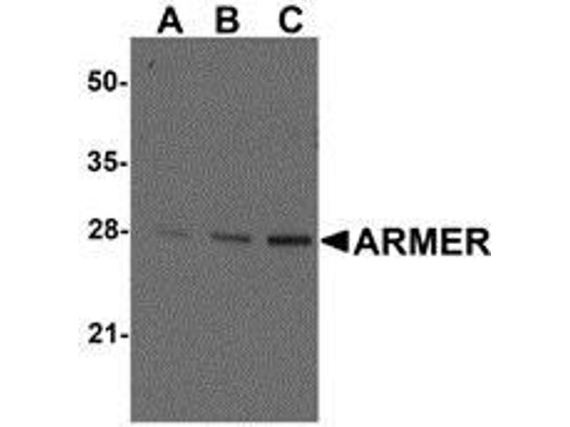 Western Blotting (WB) image for anti-ARL6IP1 antibody (may play a role in hematopoetic maturation [RGD, Feb 2006]..