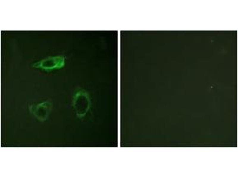 Immunofluorescence (IF) image for anti-Integrin beta 2 (ITGB2) (AA 720-769), (pThr758) antibody (ABIN1531540)