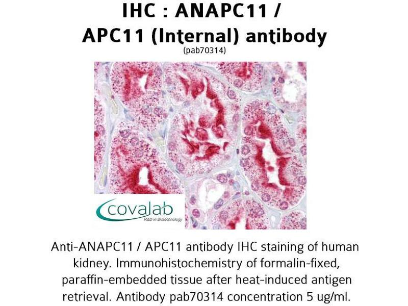 Image no. 1 for anti-Anaphase Promoting Complex Subunit 11 (ANAPC11) (Internal Region) antibody (ABIN1731759)