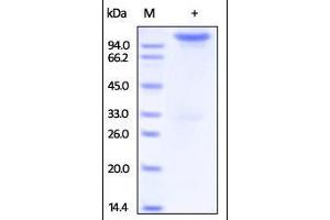 Image no. 1 for Neuropilin 1 (NRP1) (AA 22-644) (Active) protein (Fc Tag) (ABIN2181550)