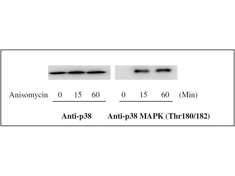 Western Blotting (WB) image for MAP kinase p38 (p38) ELISA Kit (ABIN1981835)