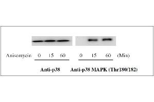 Image no. 1 for Mitogen-Activated Protein Kinase 14 (MAPK14) ELISA Kit (ABIN1981835)